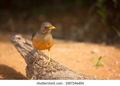 Karoo or Smith?s thrush, Turdus smithi standing on a branch observing area