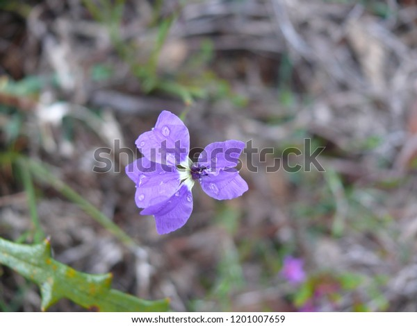 Karri Dampiera Stirling Range National Park Western Australia