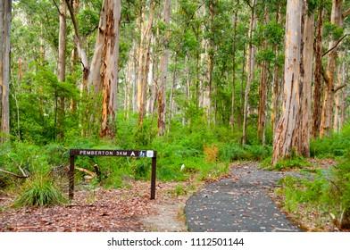 Karri Trees in Gloucester National Park - Pemberton - Australia