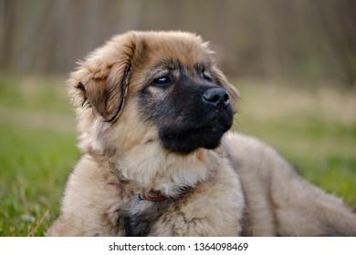 Karst Shepherd puppy observing