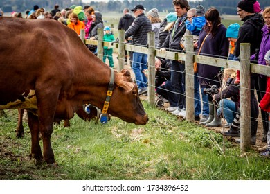 KARSTA, SWEDEN - MAY 2, 2015:  Many people come to see the annual free family spring event when farmers let their cows come out of the barn for summer pasture to graze at Karsta Sweden May 2, 2015.