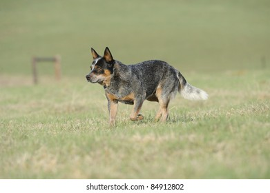 Karte Dinkum Ozzy, a pedigree Australian Cattle Dog. Australian Cattle dogs, aka blue heelers are a cross between the dingo and the blue merle collie, aka smithfield herders.