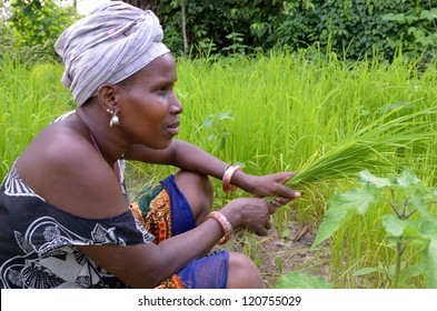 KARTIAK, SENEGAL - SEPT 17: An unidentified woman farms a rice field on September 17, 2012 in Kartiak, Senegal. Little government support is provided to the farmers so, they must farm to subsist.
