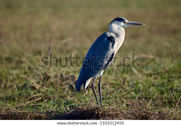 Kasane, Botswana, Africa. July 2014. A grey Heron on the shores of the Chobe River.