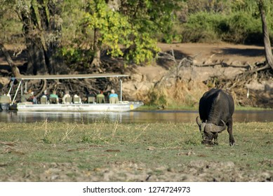 KASANE, BOTSWANA - CIRCA AUGUST 2013: Tour boat behind a Cape buffalo in Chobe National Park, Botswana