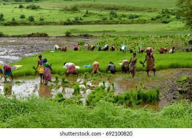 Kasara / India 29 July 2017  Female and male workers pick paddy plants for transplantation in a field at Kasara Maharashtra India
