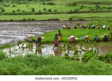 Kasara / India 29 July 2017  Female and male workers pick paddy plants for transplantation in a field at Kasara Maharashtra India