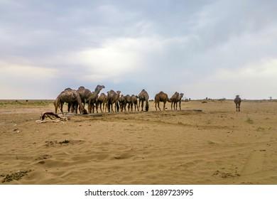 Kashan Maranjab Salt Desert with Camel Herd Drinking Water