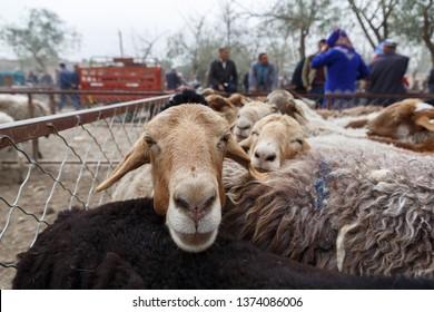KASHGAR, XINJIANG / CHINA - October 2, 2017: Close up of a lamb at an animal market near Kashgar. In the background visitors of the animal market can be seen.
