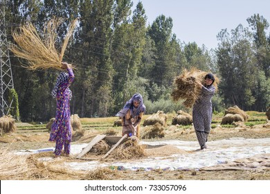 KASHMIR, INDIA - October 2017: Harvesting time in Kashmir, India. Indian Muslim women threshing grains on the wheat field at indian countryside, Jammu and Kashmir, India