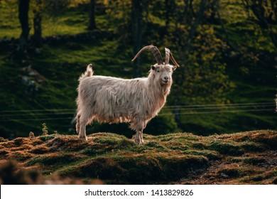 Kashmiri Goats – The Great Orme Llandudno