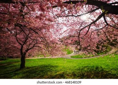 Kassel, Germany - April 8, 2016 : Cherry blossom bloom in kassel garden in summer season