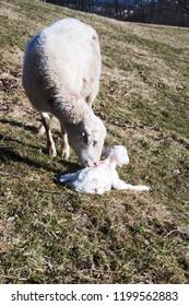 Katahdin breed sheep cleaning newly born lamb, family farm, Webster County, West Virginia, USA