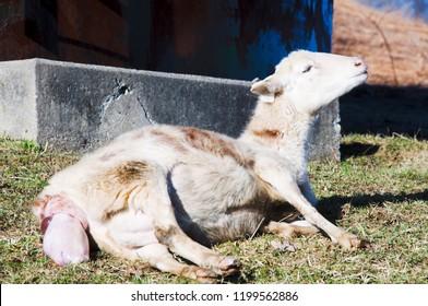 Katahdin breed sheep giving birth, family farm, Webster County, West Virginia, USA