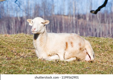 Katahdin breed sheep in labor, ready to give birth, family farm, Webster County, West Virginia, USA