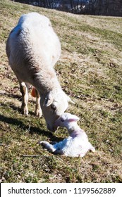 Katahdin breed sheep with newly born lamb, family farm, Webster County, West Virginia, USA