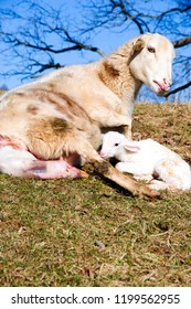 Katahdin breed sheep with newly born lamb, giving birth to second lamb, family farm, Webster County, West Virginia, USA