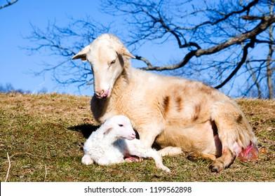 Katahdin breed sheepwith newly born lamb, giving birth to second lamb, family farm, Webster County, West Virginia, USA