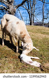 Katahdin sheep cleaning newly born lamb, with newborn lambs just after giving birth, family farm, Webster County, West Virginia, USA
