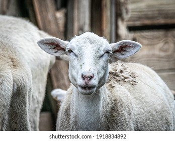 Katahdin Sheep Ewe. The Katahdin is a breed of domestic sheep developed in Maine, United States and named after Mount Katahdin - the state's highest peak.