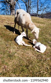 Katahdin sheep with newborn lambs just after giving birth, family farm, Webster County, West Virginia, USA