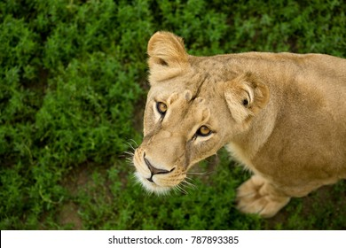 Katanga lion stand on grass and looking up in Etosha National Park after the monsoon season has ended. Southwest african lion top view. Curious lioness in wild Namibia. Panthera leo bleyenberghi