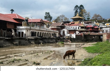 Kathmandu, Nepal - May 04 2018: Cow drinking from Bagmati river in front of Pashupatinath Temple
