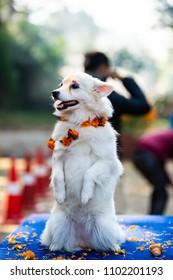 KATHMANDU, NEPAL - OCTOBER 29, 2016: Nepal police celebrates Kukur Tihar (dog festival) at Central Police Dog Training School.