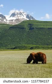 Katmai National Park, Alaska. USA. June 25, 2017. Grizzly or Brown Bear male feeding on sedges. Ursus arctos