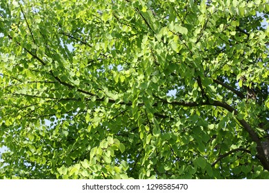 The Katsura tree, Cercidiphyllum japonicum), is planted in parks and gardens as an ornamental tree because of its delicate heart-shaped leaves