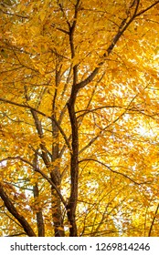 katsura tree in fall