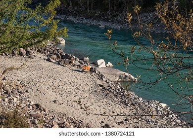 The Katun riverbank with cow