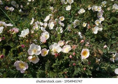 Katwijk aan Zee, The Netherlands - May 18, 2019; The botanical rose in the Noordduinen between Katwijk aan Zee and Noordwijk