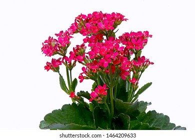 Katy flaming plant, also known as: Christmas kalanchoe, florist kalanchoe or Madagascar widow's-thrill, with bright pink flowers, photographed closely on a white background