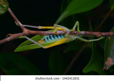 Katydid with colorful stomach/abdomen - Pseudophyllinae