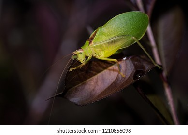 Katydid eating a Loropetalum leaf.