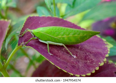 Katydid grasshopper at Kerala - South India