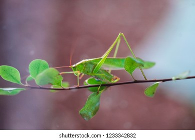 Katydid grasshopper on leafy branch against blurry background with bokeh