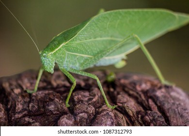 Katydid green leaf bug