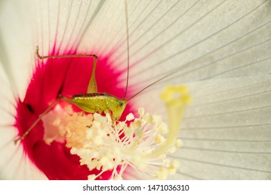 katydid insect eating pollen in native hibiscus flower