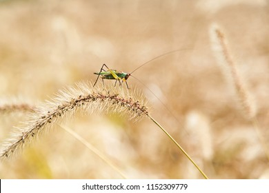 Katydid insect on Foxtail weed