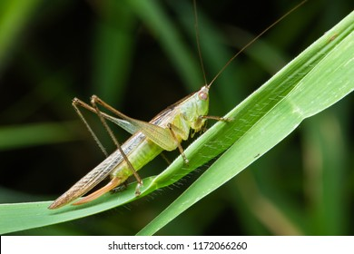 katydid or long-horned grasshopper on green grass leaf