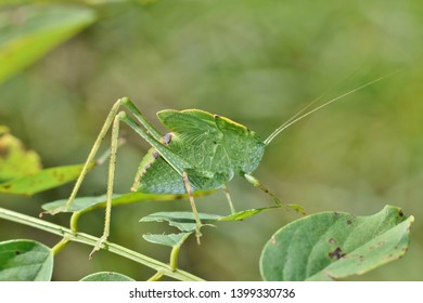 A Katydid looks like a leaf and is quite well camouflaged as it creeps slowly amid the tree foliage.