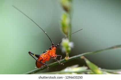 Katydid nymph in red