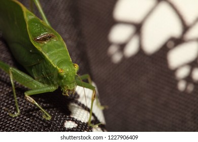 KATYDID ON BLACK BACKGROUND - Annoyed Katydid stares directly in camera to let us know he is displeased. Taken in North Carolina.