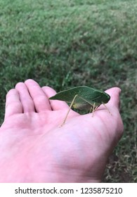 Katydid on hand insect photography
