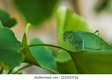 Katydid on a leaf.