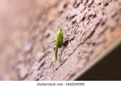 a katydid on a stucco wall 9052 copy4