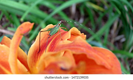 Katydid in Orange Blooming Day Lilly