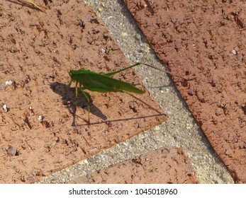 Katydid in patio garden
